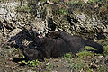 Panthera onca zoo Salzburg 2009 07.jpg