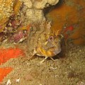 Parablennius gattorugine - Carantec.jpg