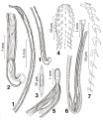 Parasite170122 Figs 1-7 Cavisoma magnum (Acanthocephala).png