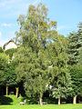 Parc Fenestre (Betula pendula).jpg