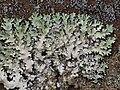 Parmotrema reticulatum 596423.jpg