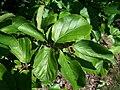 Parrotia persica Morton.jpg