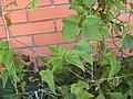 Passiflora capsularis leaves.jpg