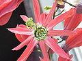 Passiflora racemosa2.jpg