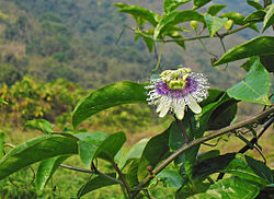 Passion Fruit flower on the vine in Hong Kong Mar 9 2013.JPG