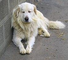 un chien de la race Montagne des Pyrénées