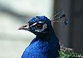 Peacock (33098092052).jpg