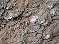 Pedogenic breccia (Conemaugh Group, Upper Pennsylvanian; creek cut on the western side of Caldwell, Ohio, USA) 27.jpg