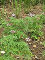 Pelargonium radens.JPG
