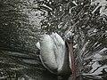 Pelican from Bannerghatta National Park 8590.JPG