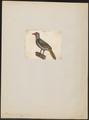 Penelope marail - 1700-1880 - Print - Iconographia Zoologica - Special Collections University of Amsterdam - UBA01 IZ16900117.tif