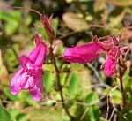 Penstemon newberryi 3.jpg