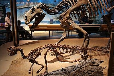 Perot Museum Tenontosaurus and Convolosaurus.jpg