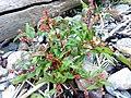 Persicaria maculosa 02.jpg