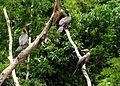 Phalacrocorax brasileanus (Cormorán neotropical) (14315775064).jpg