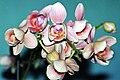 Phalaenopsis hybr. 02.jpg