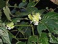 Phaulopsis imbricata, bloeiwyses, Burmanbos.jpg