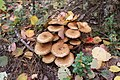 Pholiota squarrosa 95012112.jpg