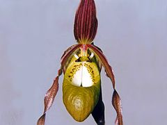 Phragmipedium klotzschianum 06.jpg