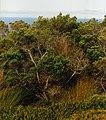 Phylica arborea.JPG