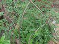 Phyllanthus tenellus (4610465943).jpg