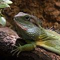 Physignatus cocincinus Basel Zoo 28102013 2.jpg