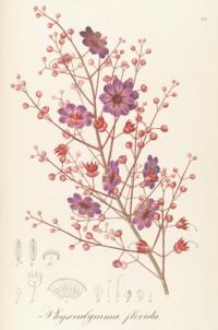 Physocalymma scaberrimum Pohl83