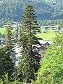 Picea abies et allée des tilleuls depuis la Jaÿsinia.jpg