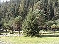 Picea chihuahuana Guanacevi.jpg