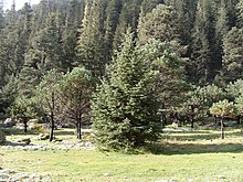 Mixed forest of Pinus cooperi and Picea chihuahuana