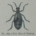 Picture Natural History - No 285 - The Meloe Beetle.png
