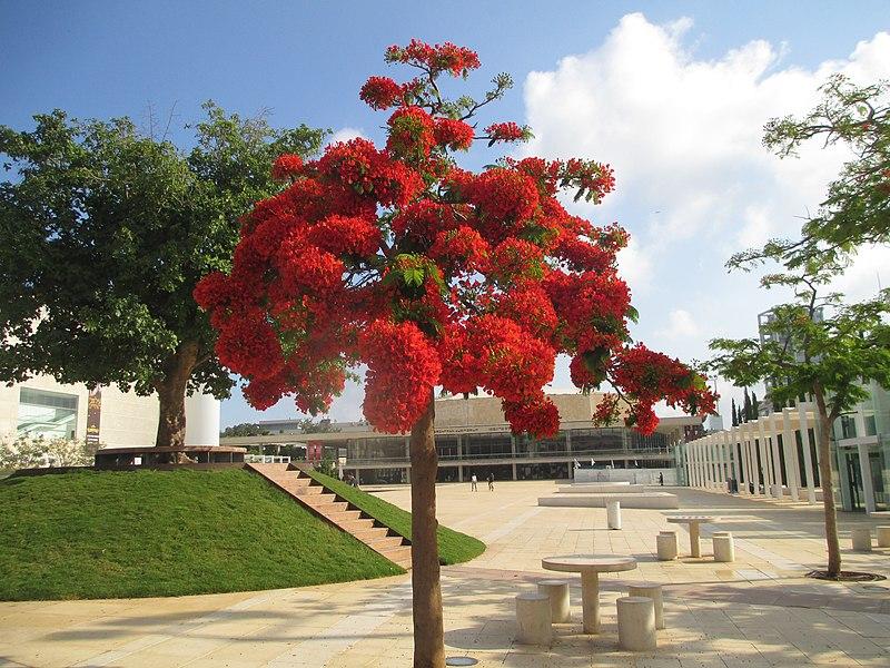 עץ צאלון בתל אביב