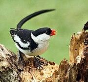 Pin-tailed Whydah (Vidua macroura).jpg