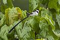 Pin-tailed Whydah - Bwindi - Uganda H8O3464 (22799515420).jpg