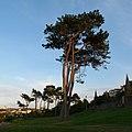 Pine trees, Bangor - geograph.org.uk - 833406.jpg