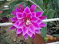Pink Epiphyllum (3425040342).jpg