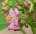 Pink Jatropha hybrid (5435734401).jpg