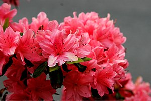 English: pink azaleas