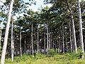 Pinus nigra Waldrand am Sonnenweg.jpg