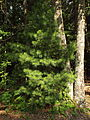 Pinus strobus White pine.jpg