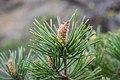 Pinus sylvestris in Aveyron (2).jpg