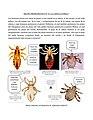 """Piojo de la cabeza y cuerpo humano, Evolución, en el libro """"El Síndrome H, una teoría sobre el origen de la humanidad y los simios"""", de Flavio Dalostto..jpg"""