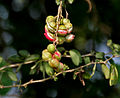 Pithecellobium dulce (Jungle Jalebi) fruit W IMG 7240.jpg