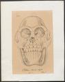 Pithecus owenii - schedel - 1700-1880 - Print - Iconographia Zoologica - Special Collections University of Amsterdam - UBA01 IZ19800066.tif