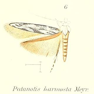 <i>Patanotis</i> genus of insects