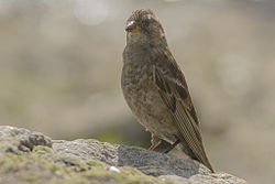 Plain Mountain Finch East Sikkim India 13.06.2014.jpg