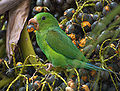 Plain Parakeet (Brotogeris tirica) -eating fruit in tree-8.jpg