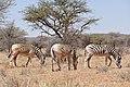"Plains Zebras (Equus quagga burchellii) showing the disappearance of stripes characteristic of the ""Quagga"" proper now extinct ... (29946233343).jpg"