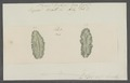 Planaria limbata - - Print - Iconographia Zoologica - Special Collections University of Amsterdam - UBAINV0274 105 09 0004.tif