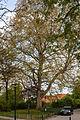 Plane tree, Virchow Campus, Berlin (20150503-DSC05026).JPG